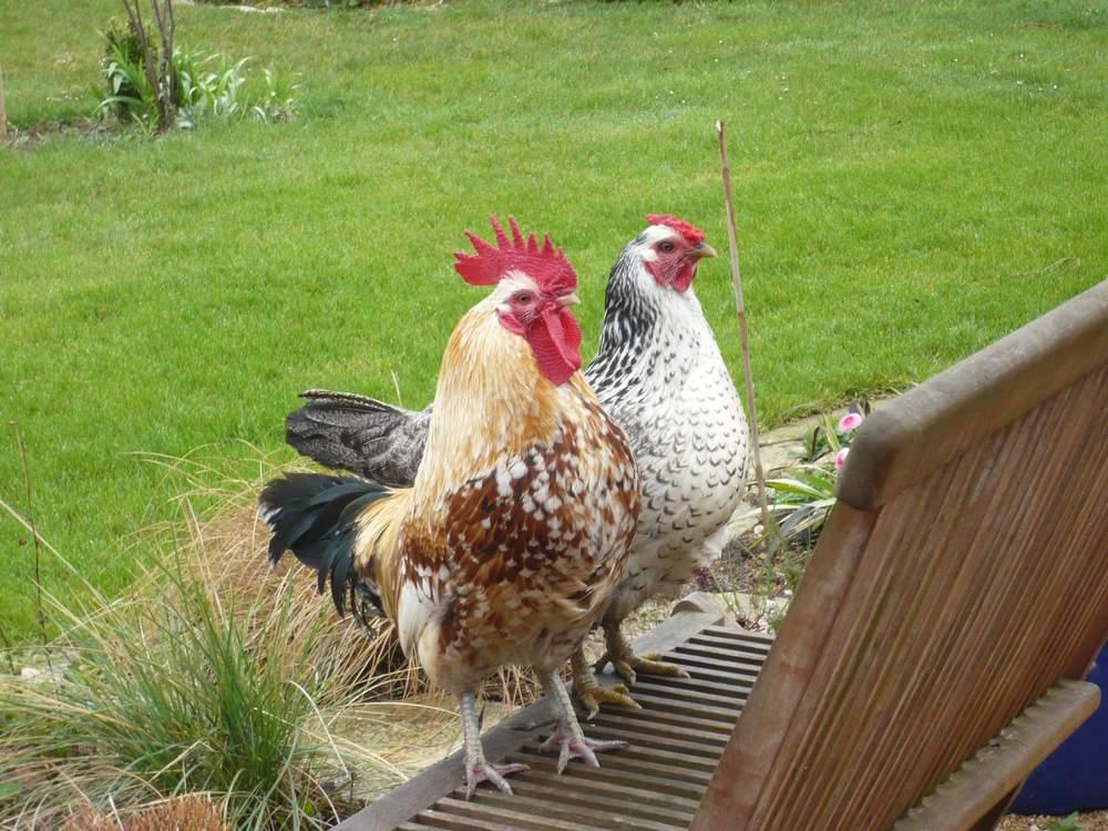 Poules et coqs - Se coucher avec les poules ...