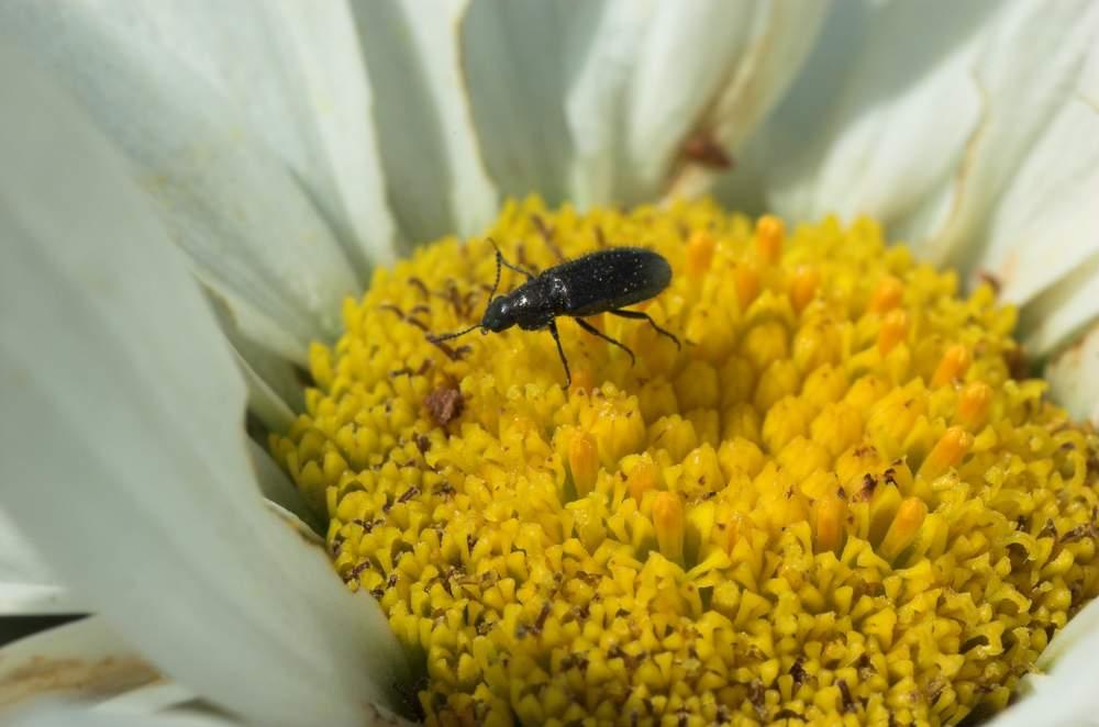 Dasytinae Inconnu Le Monde Des Insectes