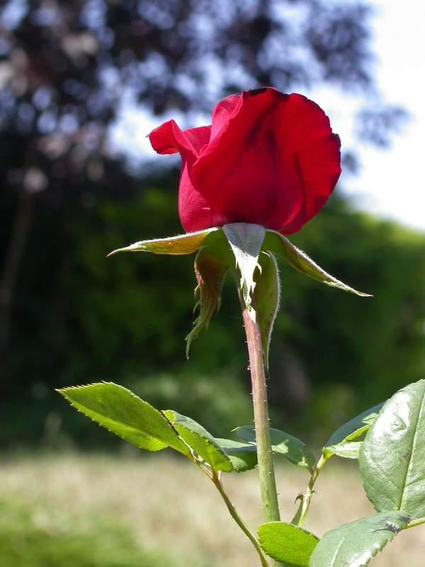 Tailler les rosiers en aout au jardin forum de jardinage - Tailler les rosiers ...