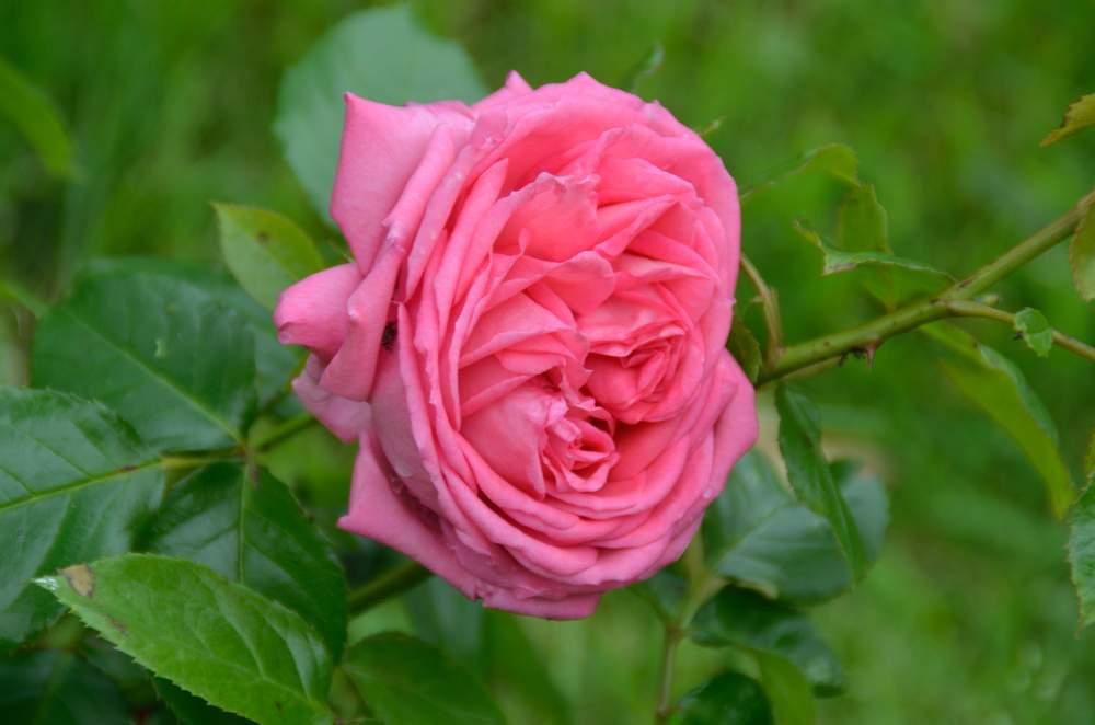Rose de Molinard (Delbard - 2007) - Page 2 Rose%20de%20Molinart%209992