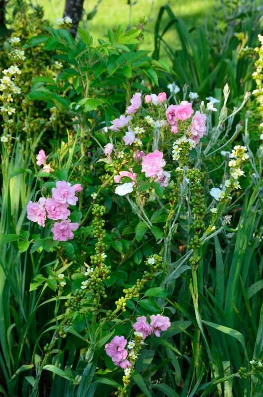 Pink Grootendorst  (Découvert  par  F.J. Grootendorst  1923).  Rugosa%20%27Grootendorst%20Pink%27%202017%2006