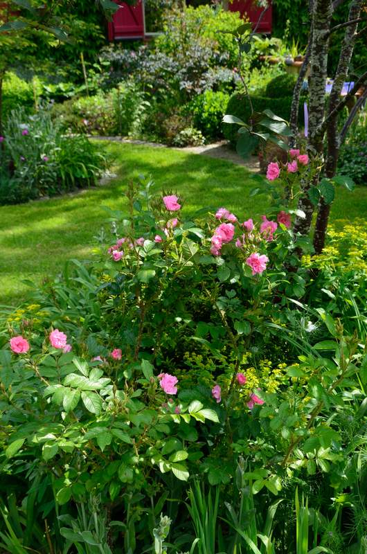 Pink Grootendorst  (Découvert  par  F.J. Grootendorst  1923).  Rugosa%20%27Grootendorst%20Pink%27%202018%2005
