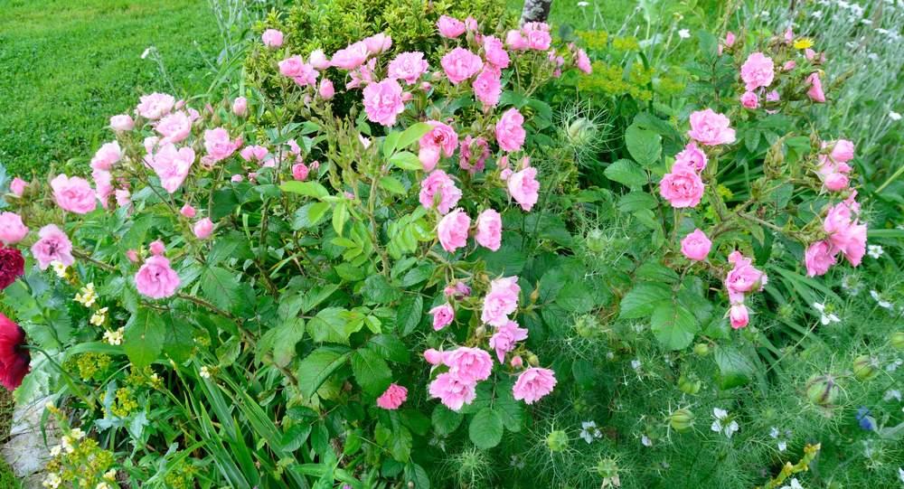 Pink Grootendorst  (Découvert  par  F.J. Grootendorst  1923).  Rugosa%20%27Grootendorst%20Pink%27%202019%2006