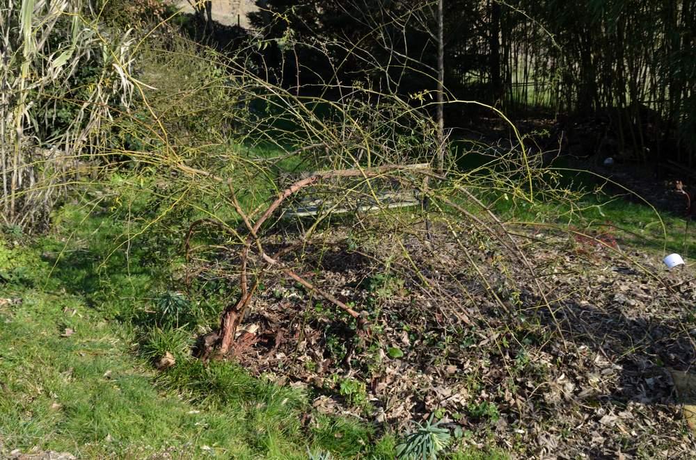 Taille des rosiers lianes article au jardin forum de - Taille rosier liane ...