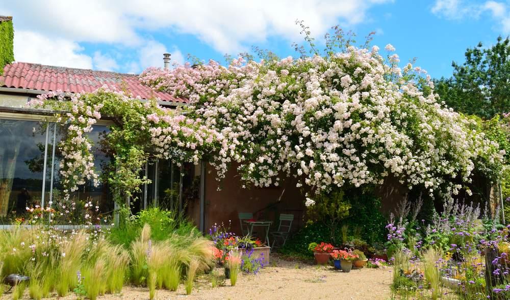 Aide taille rosier grimpant queen lisabeth au jardin - Taille rosier liane ...