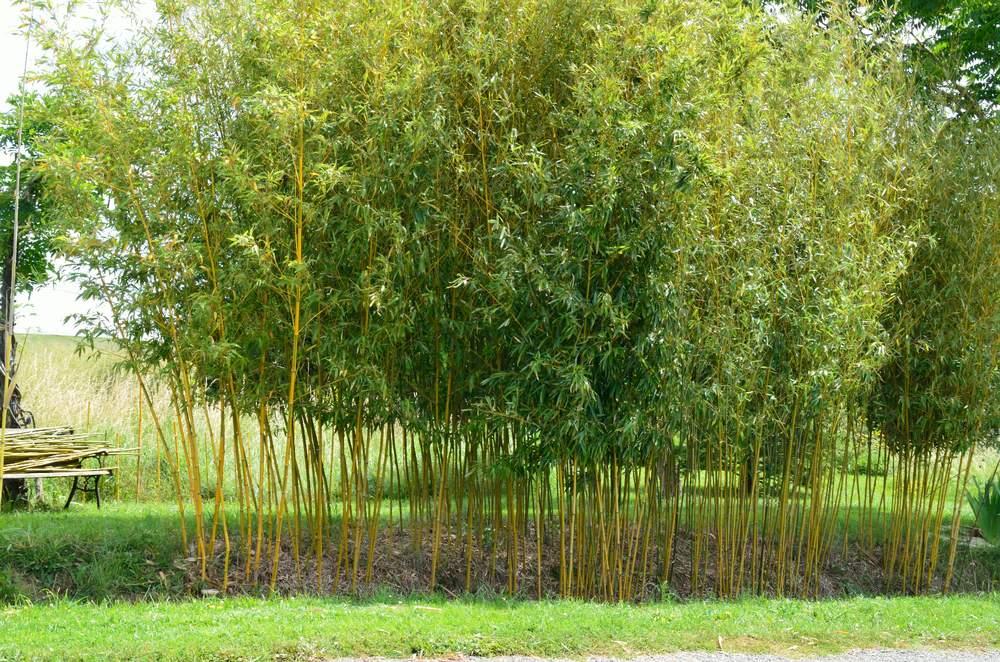 claircir claircir en galinou forum des fous de bambous. Black Bedroom Furniture Sets. Home Design Ideas