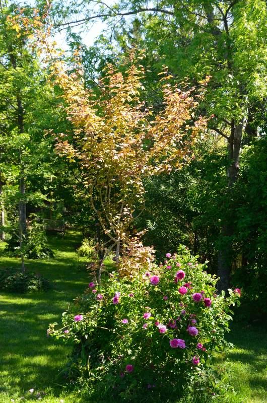 Centifolia Prolifera - Avant 1759 2017%2005