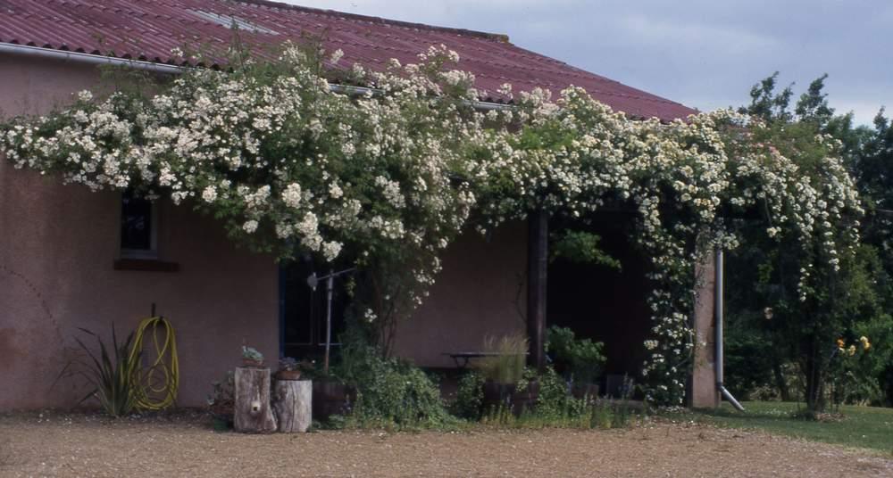 Taille des rosiers lianes le journal d 39 en galinou - Taille rosier liane ...