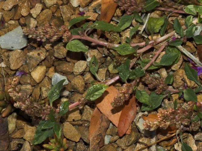 Mauvaise herbe au jardin forum de jardinage - Mauvaise herbe jardin potager ...