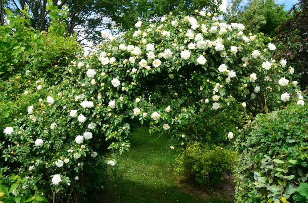 Arche Pour Fleurs Grimpantes Leroy Merlin idées pour palisser des rosiers ? - au jardin, forum de